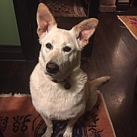 Labrador Retriever/Shepherd (Unknown Type) Mix Dog for adoption in Beverly Hills, California - FOXY