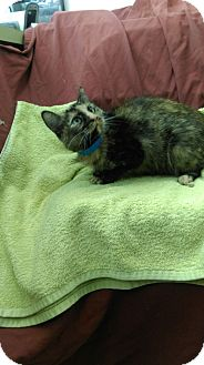 Domestic Mediumhair Cat for adoption in University Park, Illinois - Mavis
