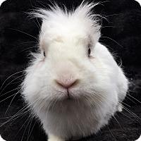 Adopt A Pet :: Puck - Watauga, TX
