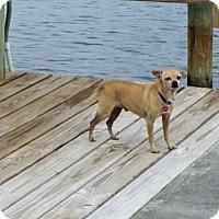 Adopt A Pet :: Moe - Pinellas Park, FL