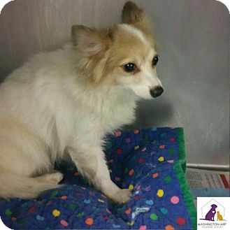 Pomeranian/Papillon Mix Dog for adoption in Eighty Four, Pennsylvania - Cameron