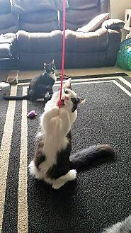 Domestic Mediumhair Cat for adoption in Athens, Georgia - Autumn