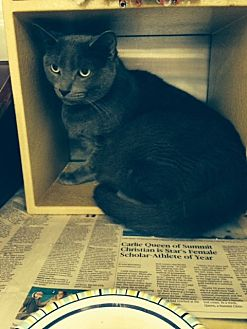 Russian Blue Cat for adoption in Overland Park, Kansas - Shelby