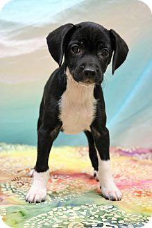 Dachshund/Beagle Mix Puppy for adoption in Allentown, Pennsylvania - Diamond