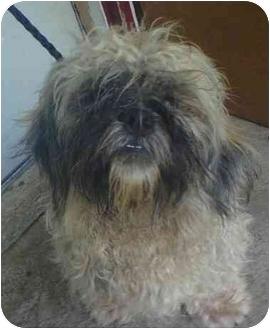 Shih Tzu/Lhasa Apso Mix Puppy for adoption in Oak Ridge, New Jersey - Yeti