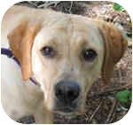 Labrador Retriever Mix Dog for adoption in Eatontown, New Jersey - Poppins