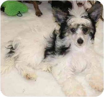 Chinese Crested Puppy for adoption in House Springs, Missouri - Powder