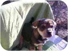 Husky Mix Puppy for adoption in Foster, Rhode Island - Buzz