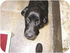 Newfoundland/Labrador Retriever Mix Puppy for adoption in Libby, Montana - Trooper