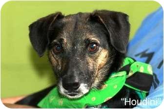Beagle/Terrier (Unknown Type, Small) Mix Dog for adoption in Marietta, Georgia - Houdini