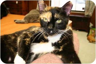 Calico Cat for adoption in Naples, Florida - Sunny