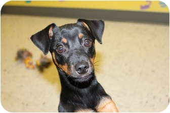 Miniature Pinscher Mix Puppy for adoption in HARRISONVILLE, Missouri - My Fav