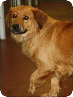 Golden Retriever Mix Dog for adoption in Hamburg, Pennsylvania - Holly