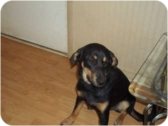 Shepherd (Unknown Type) Mix Dog for adoption in Hagerstown, Maryland - Moochy