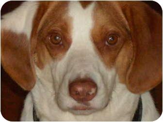 Beagle Mix Dog for adoption in East Hartland, Connecticut - Maynard