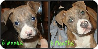 American Staffordshire Terrier/Boxer Mix Dog for adoption in Des Plaines, Illinois - Ryan
