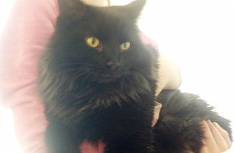 Domestic Mediumhair Cat for adoption in Worcester, Massachusetts - Mango