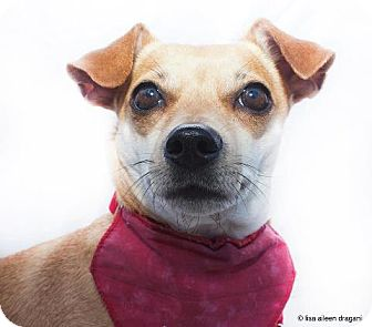 Chihuahua/Dachshund Mix Dog for adoption in Los Angeles, California - GASKET