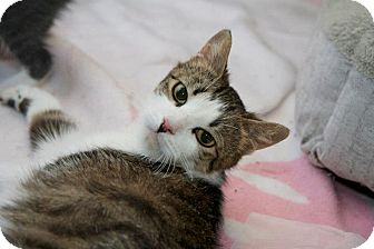 Domestic Shorthair Cat for adoption in East Brunswick, New Jersey - SnowWhite