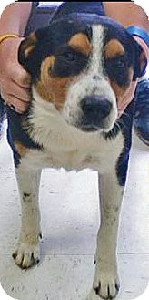 Greater Swiss Mountain Dog Mix Dog for adoption in Manhasset, New York - Bandit