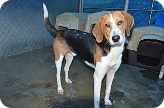 Hound (Unknown Type) Mix Dog for adoption in Henderson, North Carolina - Carver