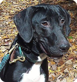 Labrador Retriever/Great Dane Mix Dog for adoption in Carmel, New York - Kohl