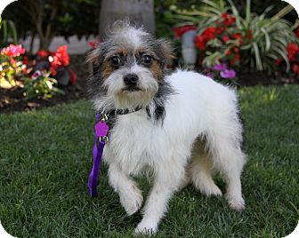 Jack Russell Terrier Mix Dog for adoption in Newport Beach, California - DOLLY