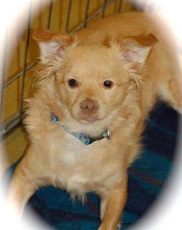 Tibetan Spaniel/Spitz (Unknown Type, Medium) Mix Dog for adoption in Phoenix, Arizona - Sunny **small little guy***