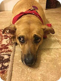 Dachshund Mix Dog for adoption in New Smyrna Beach, Florida - Rosie