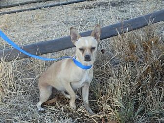 Chihuahua/Jack Russell Terrier Mix Dog for adoption in Vacaville, California - Callie