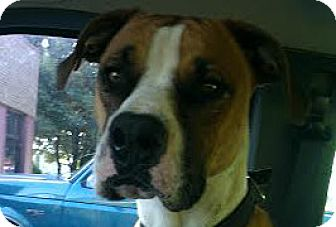 Boxer Dog for adoption in Brentwood, Tennessee - Benjamin