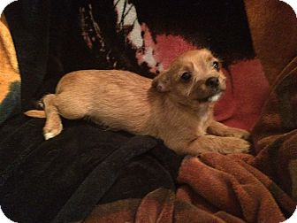 Chihuahua/Dachshund Mix Puppy for adoption in Middleburg, Florida - Curly