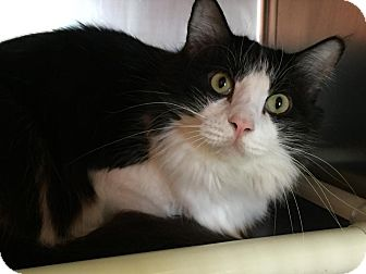 Domestic Mediumhair Cat for adoption in Topeka, Kansas - Cliffy