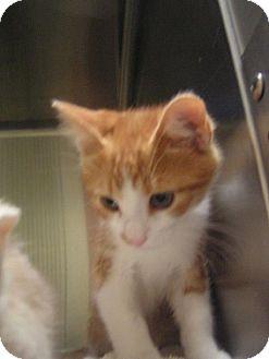 Domestic Longhair Kitten for adoption in DeLand, Florida - Cream