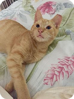 Domestic Mediumhair Kitten for adoption in West Palm Beach, Florida - Simba