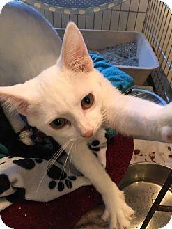 Domestic Shorthair Kitten for adoption in Hanna City, Illinois - Blanca-adoption pending