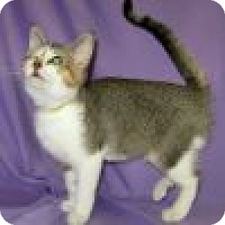 Domestic Shorthair Cat for adoption in Powell, Ohio - Darma