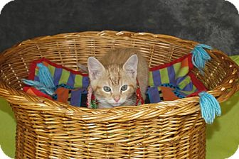 Domestic Shorthair Kitten for adoption in Jackson, Mississippi - Sherbet