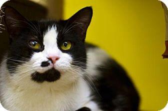 Domestic Shorthair Cat for adoption in Fort Smith, Arkansas - BlackJack