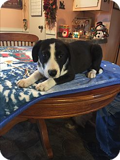 Labrador Retriever/Border Collie Mix Puppy for adoption in Glastonbury, Connecticut - Anna