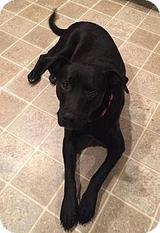 Labrador Retriever Mix Dog for adoption in Philadelphia, Pennsylvania - Midnight