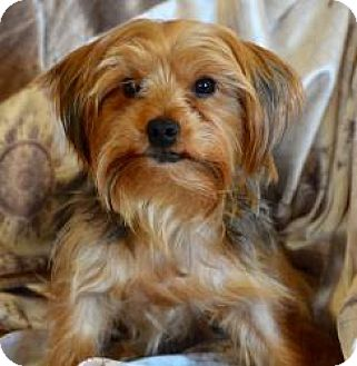 yorkie rescue arkansas winston salem nc yorkie yorkshire terrier meet max a 5730