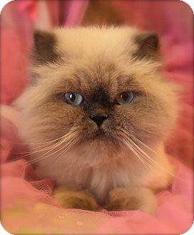 Himalayan Cat for adoption in Naperville, Illinois - Kiki