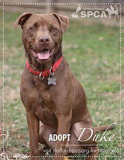 Labrador Retriever/Chesapeake Bay Retriever Mix Dog for adoption in Stafford, Virginia - Duke