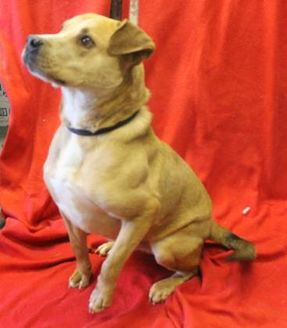 American Pit Bull Terrier Mix Dog for adoption in Delaware, Ohio - Romeo