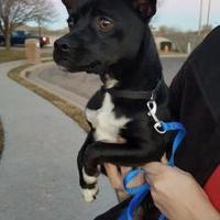 Adopt A Pet :: Lexi - Amarillo, TX