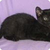 Adopt A Pet :: Black Bart - Powell, OH