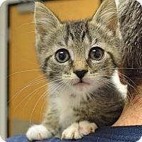 Domestic Shorthair Kitten for adoption in Livonia, Michigan - C35 Litter- Bumblebee