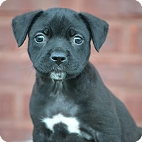 Labrador Retriever/Border Collie Mix Puppy for adoption in Hagerstown, Maryland - Jorah
