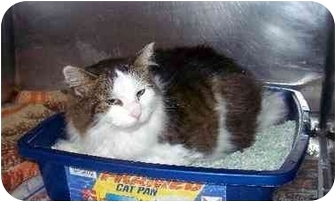 Domestic Longhair Cat for adoption in Bristol, Rhode Island - Patches